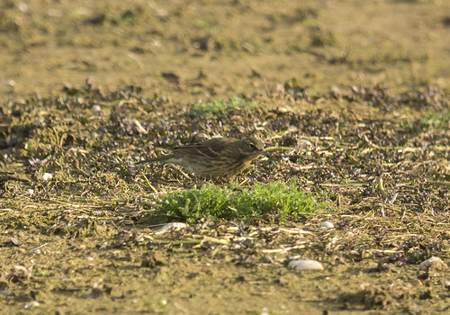 Rock Pipit, GLE,  Broom GP, 25th Mar 2016