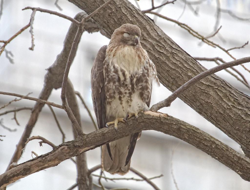 Sick hawk