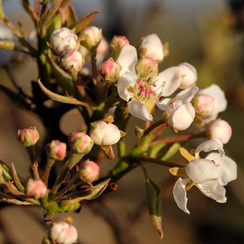 Flor da pereira
