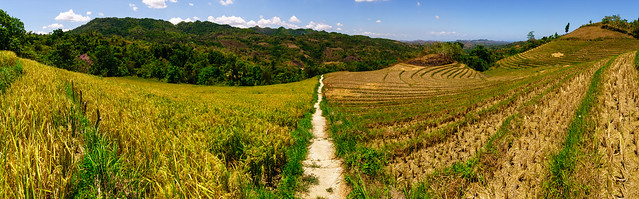 Padi field landscape