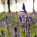 Bluebells by Christopher_Hawkins