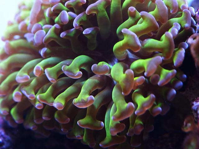 P4153014 榔頭珊瑚