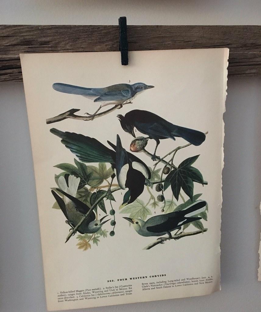 Vintage Western Corvid Print