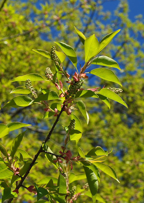 Prunus serotina