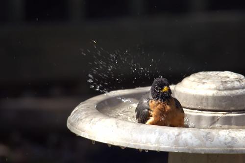 bird robin canon bath iowa splash tamron t3i 150600mm
