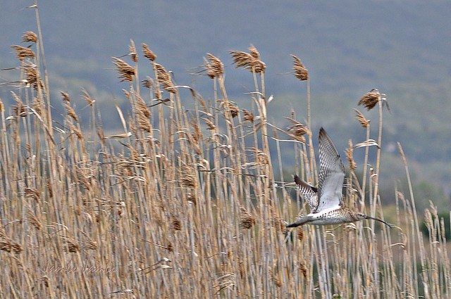 Canne al vento e chiurlo in volo - Reeds in the wind and curlew in flight