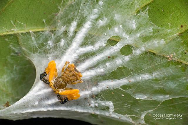 Bird dung crab spider (Phrynarachne sp.) - DSC_1093