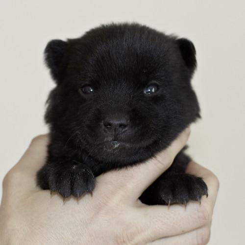 Kumi-Litter5-Day20-Puppy3-Male-a