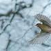 Finch in Flight by jillyspoon