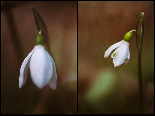Snowdrops // 01 02 16