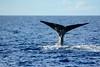 Sperm whale in Dominica
