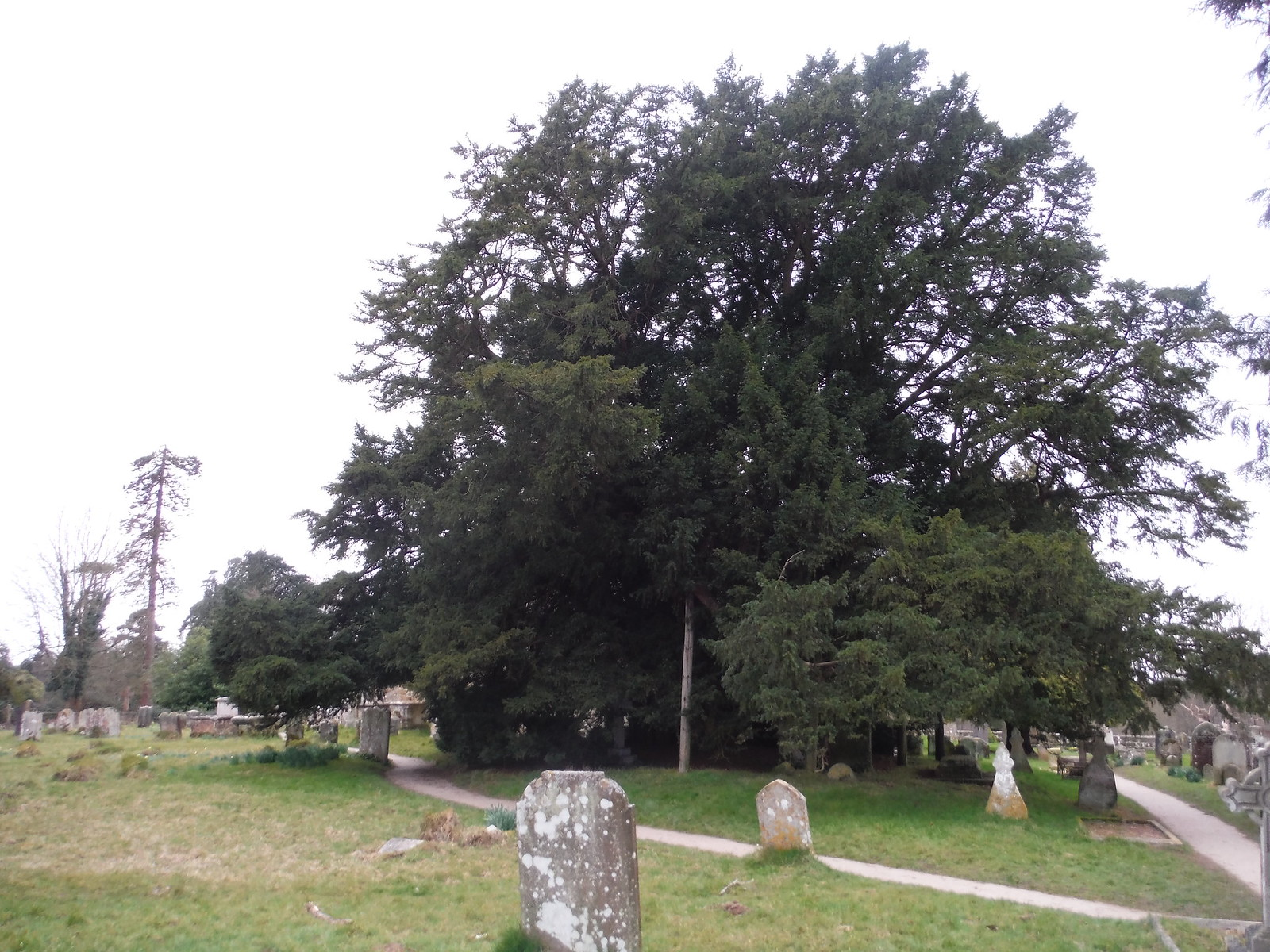 Yew Tree in churchyard, St. Margaret the Queen, Buxted Park SWC Walk 262 Uckfield to Buxted