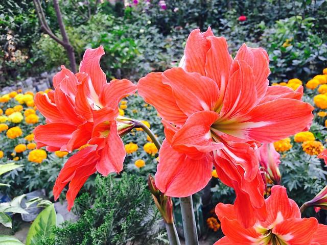 Striped Barbados Lily (Hippeastrum Striatum)  #lily #street #garden #flower