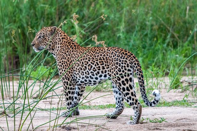 Leopard after a sleep
