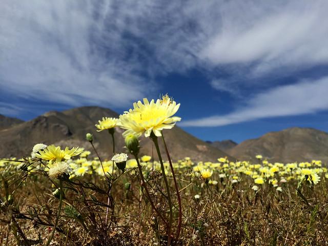 Mojave Wildflowers