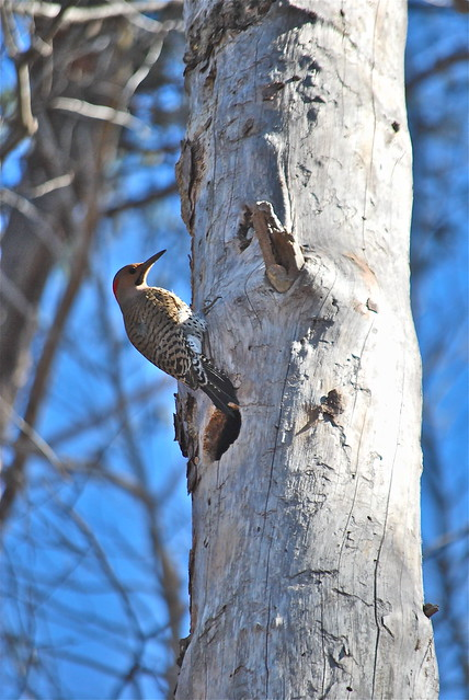 A Flicker to the north looms over its den in Smith Mountain Lake State Park in Virginia