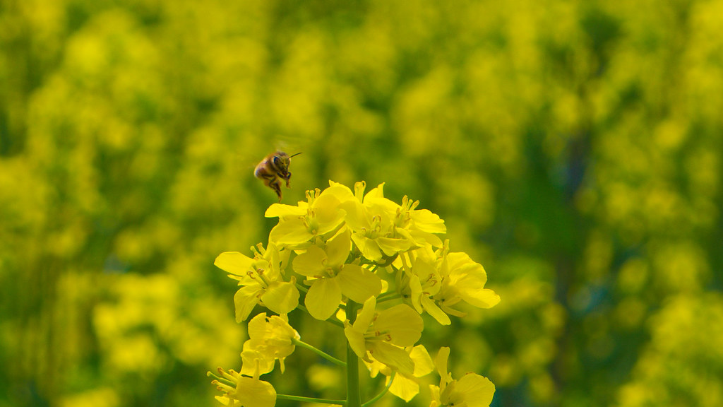 Bee Flying to a Canola