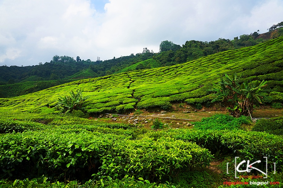 Cameron_Highlands_017