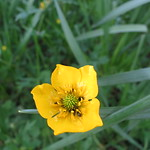 bug filled buttercup