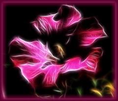 Hot Pink Fractalus Hibiscus in Pink Vignette Frame