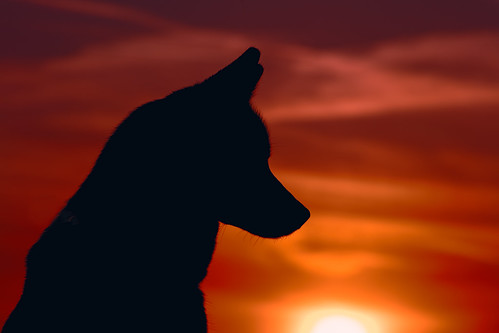 california sunset portrait sky dog pet pets sun sunlight color dogs nature animal animals silhouette canon outside mammal outdoors husky pretty sundown naturallight canine domestic telephoto siberianhusky aurora tamron bakersfield goldenhour alaskanhusky hartpark domesticanimal kerncounty 5ds canon5ds eos5ds tamron28300mmf3563divcpzd canoneos5ds