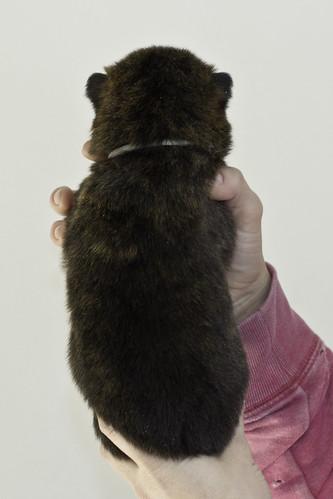 Kumi-Litter5-Day20-Puppy5-Male-b