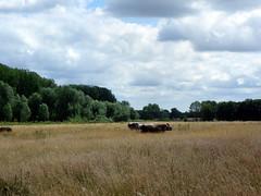 GOC Redbourn 078: Field with cattle at Gorhambury