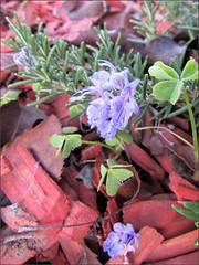 Rosemary flowers