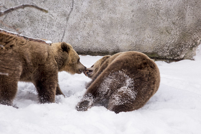 Brown bears first day out after hibernation - too much fun!