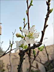 Santa Rosa Plum blossoms on another tree