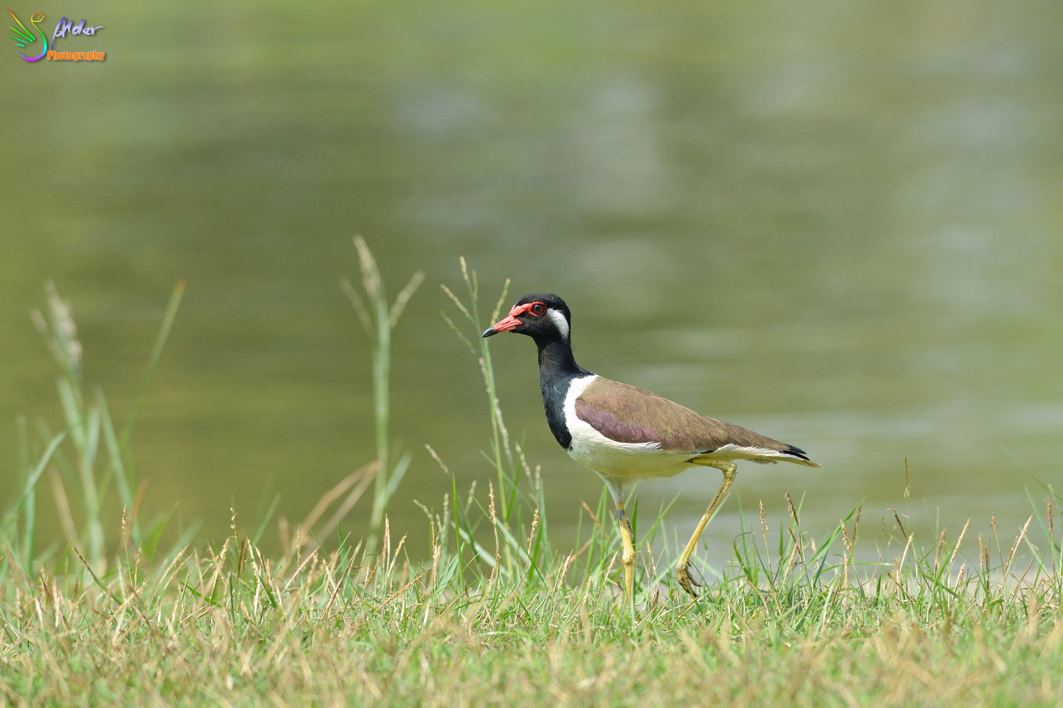 Red-wattled_Lapwing_9608_IJFR