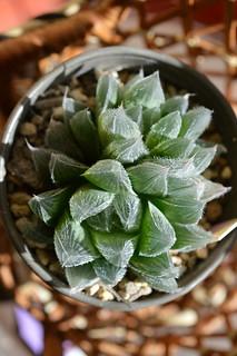 DSC_1212 Haworthia cooperi var. venusta ハオルチア ベヌスタ