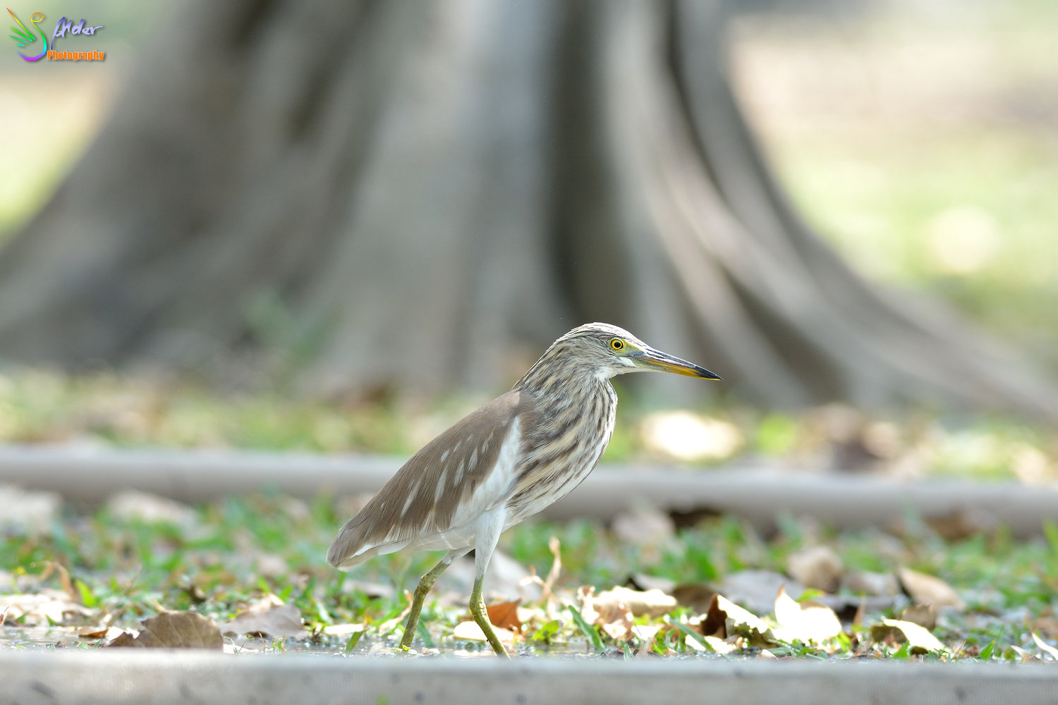 Chinese_Pond_Heron_2195
