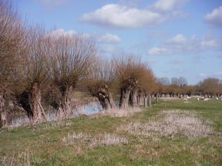 Pollards along the Thame River, Chearsley