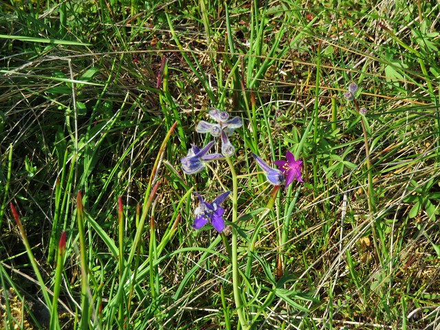 Larkspur and a grass widow