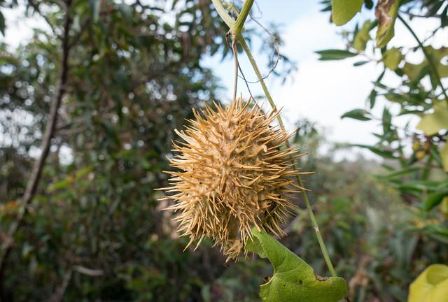 Wild cucumber (Marah macrocarpus)