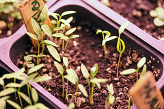 seedlings  IMG_5238 - Copy