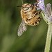 Hairy Footed Bee by Dalantech