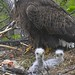04 01 2016 eaglets pic 2 by Clawpaw by aefmods
