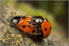 Ladybird - Pair