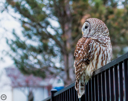 Barred Owl on a fence