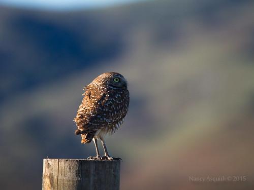 Burrowing owl (athene curicularia)