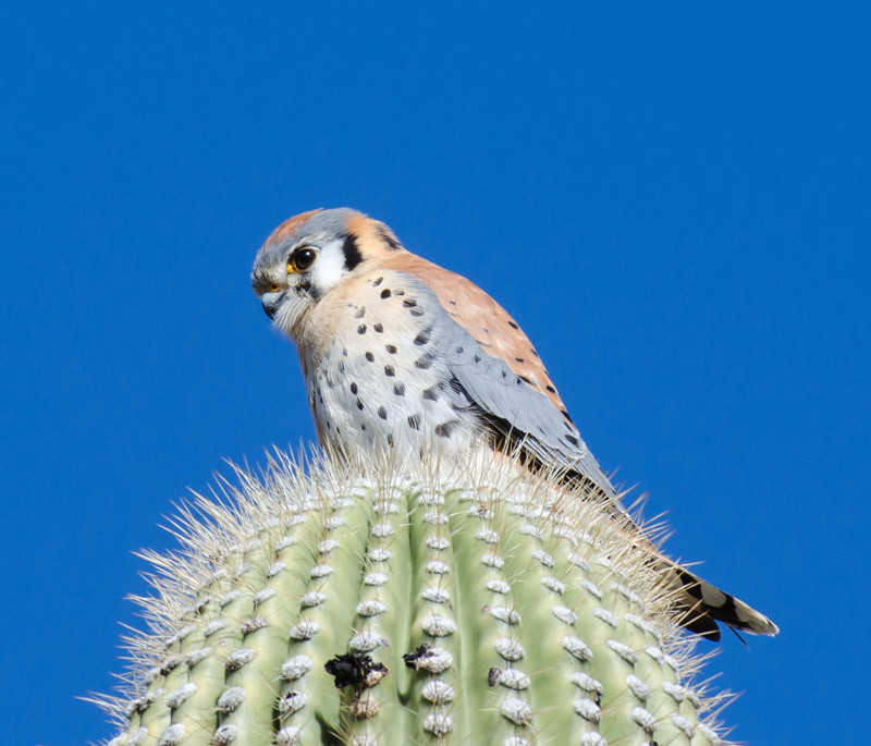 Kestrel hunting from a Saguaro