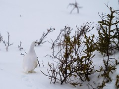 When you see one there are usually more...#ptarmigan