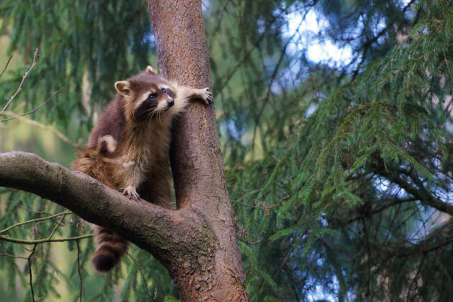 Raccoon on the tree (Waschbär)