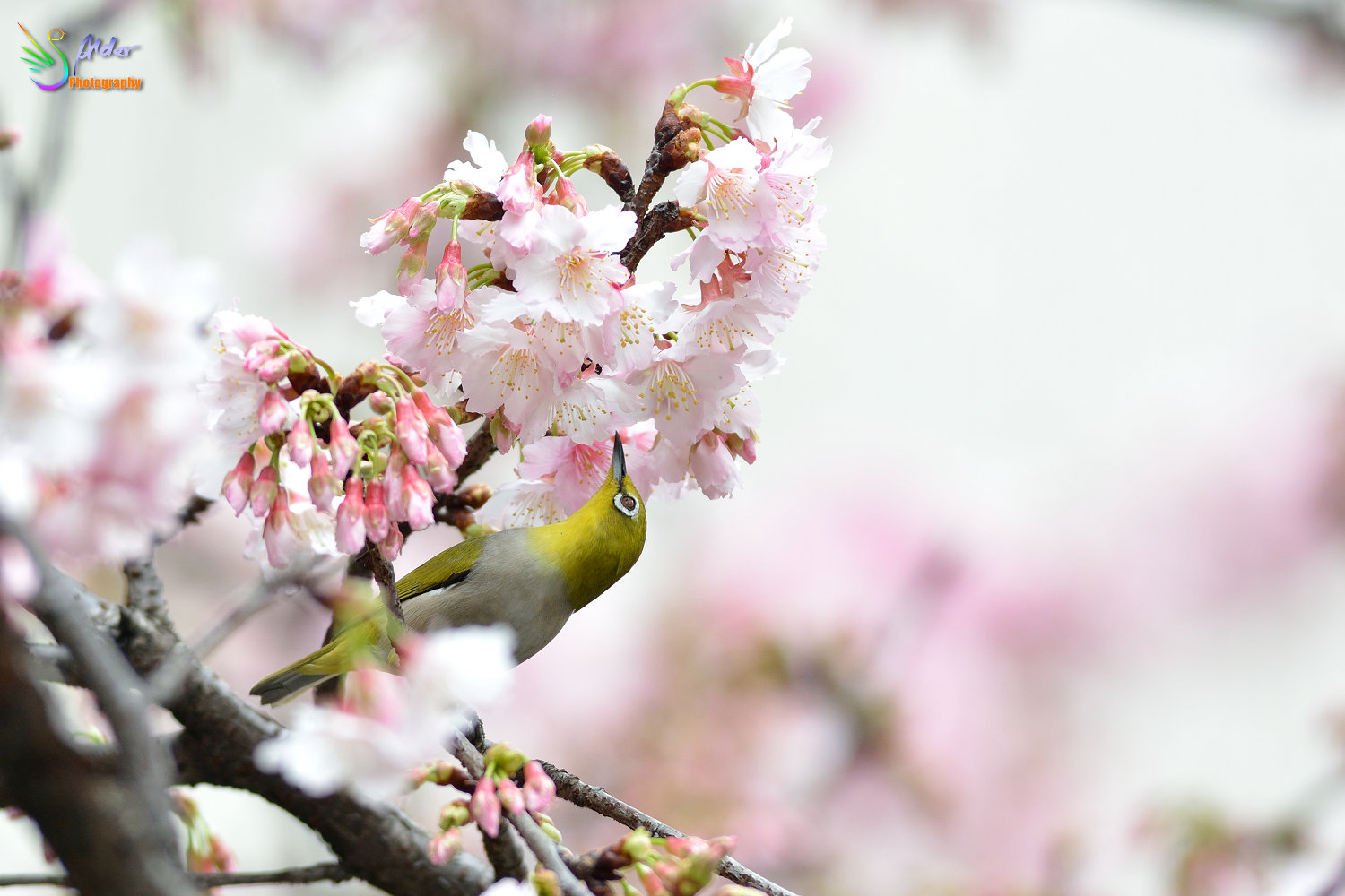 Sakura_White-eye_6719