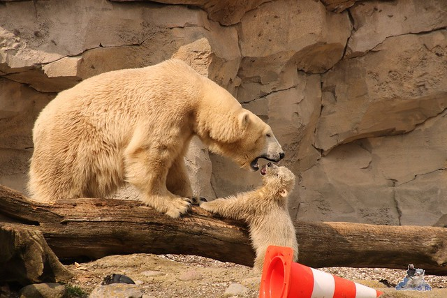 Eisbär Lili im Zoo am Meer Bremerhaven 09.04.2016 Teil 1  0192