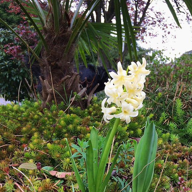 Pale yellow hyacinth in the front yard. 💛