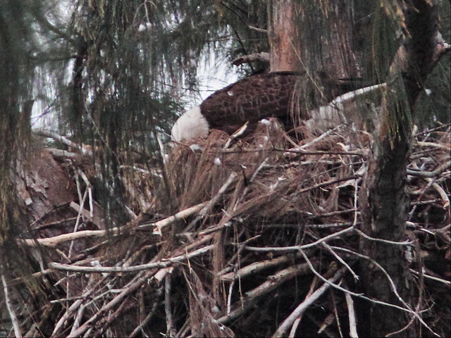 Bald Eagle feeding 04-20160324