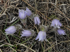 Some Pasqueflowers for Easter